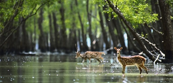 sundarban moving deer
